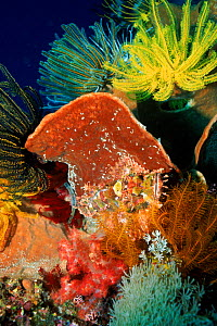 Scorpionfish camouflaged on sponge with featherstar. Sulawesi, Indonesia.  -  Georgette Douwma
