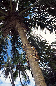 Coconut crabs on tree trunk {Birgus latro} Christmas Island - Jurgen Freund