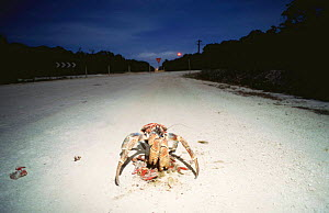 Coconut crab {Birgus latro} scavenging on Red crab road kill at night, Christmas Island - Jurgen Freund