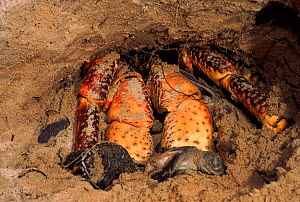 Coconut crab predating Hawksbill turtle nest, Aldabra, Seychelles - Pete Oxford