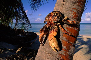 Coconut crab on palm trunk, Picard Island, Aldabra Atoll, Seychelles  -  Pete Oxford