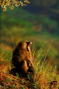 Olive baboon (Papio anubis), male, displaying. Kenya, East Africa  -  Mike Wilkes