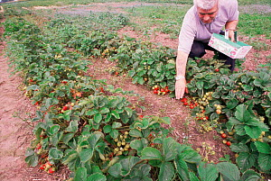 Harvesting strawberry crop (Fragaria vesca), Montrose, Tayside, Scotland  -  Brian Lightfoot