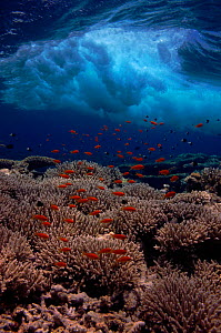 Coral reef landscape. Shallow reef with Anthias and wave. Red Sea, Egypt, North-Africa  -  Georgette Douwma