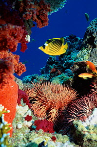 Crown of thorns starfish and butterflyfish on coral reef, Red Sea, Egypt.  -  Georgette Douwma