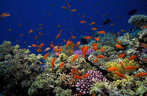 Coral reef landscape with Anthias fish {Anthias squamipinnis} Red Sea, Egypt. - Georgette Douwma