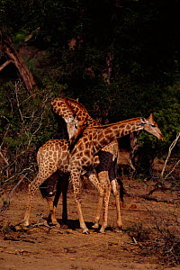 Male Giraffes fighting. {Giraffa camelopardalis} Kruger NP, South Africa - Ron O'Connor