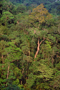 Dipterocarp forest. Luzon, Zambales province, Philippines - Doug Wechsler