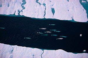 White / Beluga whale pod {Delphinapterus leucas} migrating through sea ice, Arctic Canada. Aerial  -  Doug Allan