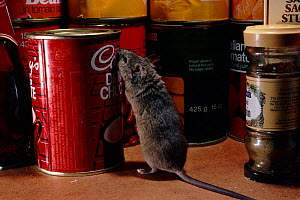 House mouse (Mus musculus) in pantry. England, UK, Europe  -  Adrian Davies