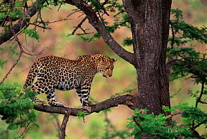 Leopard in tree {Panthera pardus} Masai Mara, Kenya - Peter Blackwell