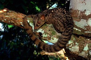 African palm civet in tree, Epulu Ituri Reserve, DR Congo, Central Africa. Rainforest  -  Jabruson