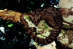 African palm civet. in tree. Epulu Ituri rainforest Reserve, DR Congo (formerly Zaire), Central Africa  -  Jabruson