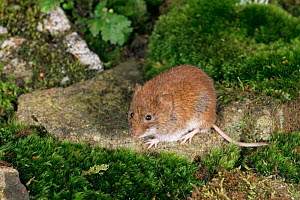 Bank vole, UK {Clethrionomys glareolus} captive  -  Colin Preston