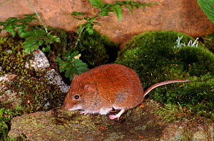 Bank vole, UK {Clethrionomys glareolus}  -  Colin Preston