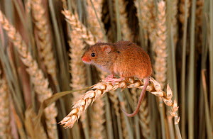 Harvest mouse on ripe wheat ear, UK  -  Colin Preston