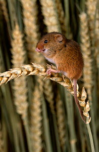 Harvest mouse {Micromys minutus} grooming on ripe ear of wheat, UK  -  Colin Preston