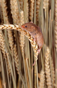 Harvest mouse on ripe wheat ear {Micromys minutus} UK  -  Colin Preston