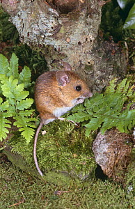 Wood mouse {Apodemus sylvaticus} UK, captive  -  Colin Preston