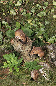 Wood mice  {Apodemus sylvaticus} UK captive  -  Colin Preston