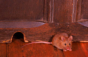 House mouse by skirting board in house, UK  -  Colin Preston