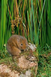 Common / Orkney vole {Microtus arvalis} UK  -  Colin Preston