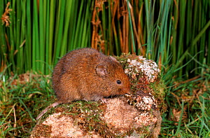 Common (Orkney) vole {Microtus arvalis} UK  -  Colin Preston