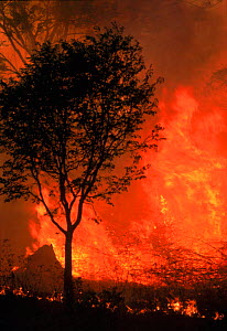 Forest fire. Nagarahole NP, Southern India - Lockwood & Dattatri