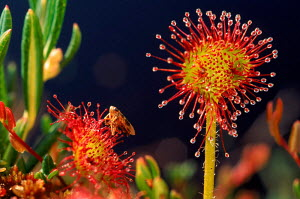 Common sundew with trapped insect {Drosera rotundifolia} Vosges, France  -  VINCENT MUNIER