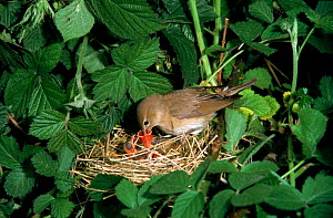 Garden warbler feeding chicks at nest {Sylvia borin} UK  -  Colin Preston