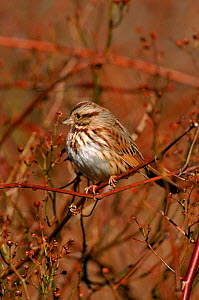 Song sparrow perched. {Zonotrichia melodia} Long Is, New York, USA  -  Tom Vezo