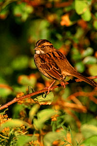 White throated sparrow perched, Long Is, USA  -  Tom Vezo