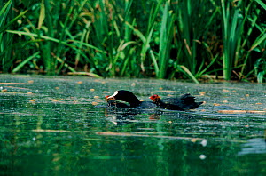 Coot parent killing young, Berkshire, UK. - Barrie Britton