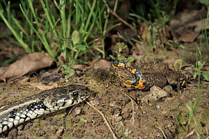 Yellow bellied toad defensive display to snake, Italy - shows brighly coloured belly  -  Fabio Liverani