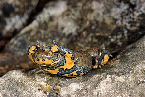 Yellow bellied toad defensive display  - shows brightly coloured belly, Italy  -  Fabio Liverani