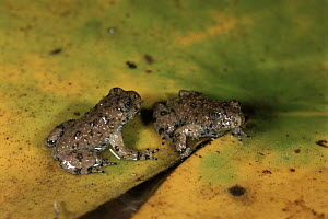 Yellow bellied toad froglets, Italy. Life cycle sequence 6  -  Fabio Liverani