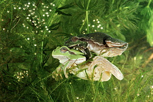 Common tree frog pair in amplexus Italy. Note eggs. Life cycle sequence 2  -  Fabio Liverani