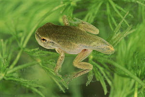 Common tree frog froglet with remains of tail, Italy. Life cycle sequence 5  -  Fabio Liverani