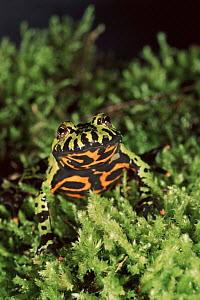 Oriental fire bellied toad showing warning colours. - Fabio Liverani