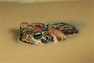 Giant toad in muddy water, Italy, Europe  -  Fabio Liverani