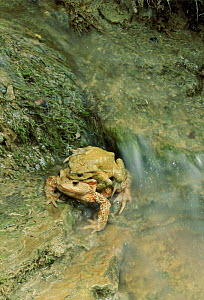 Common European toad  pair in amplexus. Italy  -  Fabio Liverani