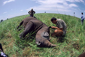 Fitting radio collar to White rhinoceros, Garamba NP Dem. Rep. of Congo (formerly Zaire) - Jabruson