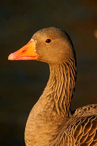Greylag goose {Anser anser} head portrait Winter, Scotland  -  David Tipling