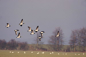 Barnacle geese flying, England, UK {Branta leucopsis}  -  David Kjaer