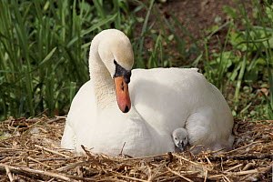 Mute swan female with chick on nest {Cygnus olor} England, UK  -  John Cancalosi