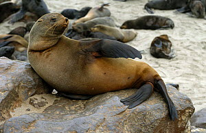 Afro-australian fur seal {Arctocephalus pusillus} relaxing on rocks, Namibia.  -  Christoph Becker