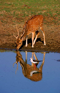 Male Chital / Spotted deer at waterhole. Ranthambore NP, India. - Francois Savigny