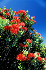 Pohutukawa tree in flower {Metrosideros excelsa} on south coast North Island New Zealand  -  Phil Chapman