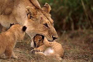 Lion female picking up young cub in mouth, Masai Mara, Kenya  -  Anup Shah