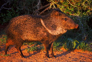 Collared peccary, Texas, USA. - David Welling